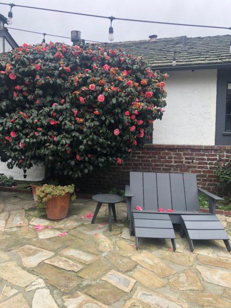 Carmel rose tree